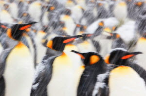 King Penguin (Aptenodytes patagonicus) colony in heavy snow. South Georgia Island, Southern Ocean, November.  -  Ole Jorgen Liodden