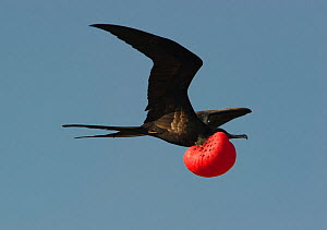Magnificent Frigatebird (Fregata magnificens)displaying in flight, red pouch inflated. Galapagos - Ole Jorgen Liodden