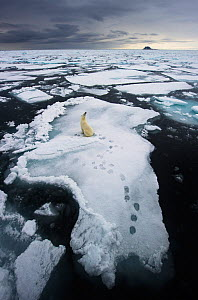 Polar Bear (Ursus maritimus) sitting on floe in vast thawing sea-ice landscape. Spitsbergen, Svalbard, August 2011. Second place, Mammals Category, GDT 2012 competion. Winner in ANIMALS IN THEIR ENVIR... - Ole Jorgen Liodden