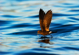 Elliot's Storm-petrel (Oceanites gracilis) walking on water feeding. Galapagos  -  Ole Jorgen Liodden