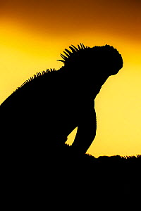 Galapagos Land Iguana (Conolophus subcristatus) silhouetted against dawn light. Galapagos - Ole Jorgen Liodden