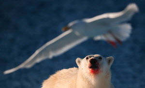 Polar Bear (Ursus maritimus) with blooded face looking at Glaucous Gull (Larus hyperboreus) in flight. Spitsbergen, Svalbard, July.  -  Ole Jorgen Liodden
