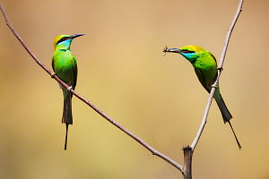 Green Bee-eater (Merops Orientails) pair with food, one with insect prey. Kanha National Park, India, April.  -  Ole Jorgen Liodden