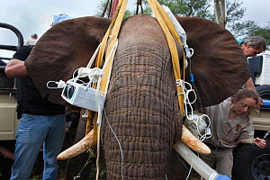 Wild elephant bull (Loxodonta africana) being prepared for vasectomy operation in bush by the Elephant Population Management Program team, private game reserve, Limpopo, South Africa, April 2011. Winn... - Ann & Steve Toon