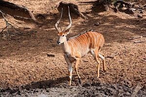Nyala (Tragelaphus angasii) with intersex syndrome, showing female coat pattern, male horns and body size, Mkhuze Game Reserve, South Africa, May.  -  Ann & Steve Toon