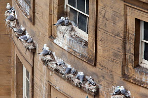 Kittiwake (Rissa tridactyla) large colony nesting on building, Newcastle Quayside, UK, June.  -  Ann & Steve Toon