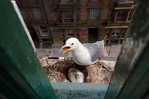 Kittiwake (Rissa tridactyla) looking through window at female with chick nesting on Tyne Bridge, Newcastle, UK, June.  -  Ann & Steve Toon