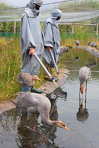 Common / Eurasian cranes (Grus grus) immature birds being taught to fed by researchers performing the role of 'crane mother', Great Crane captive breeding and reintroduction project, Wildfowl and Wetl...  -  Ann & Steve Toon
