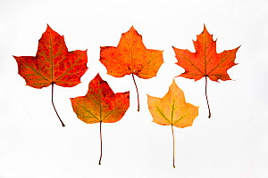 Field maple (Acer campestre) leaves photographed on white background in autumn, UK.  -  Ann & Steve Toon