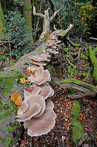 Oyster mushrooms (Pleurotus ostreatus) growing on fallen Beech trunk, Sussex, England, UK, October  -  Adrian Davies