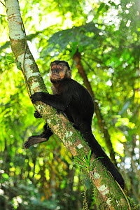 Black / Black horned capuchin monkey (Cebus nigritus) in Atlantic Rainforest, Itatiaia National Park, Rio de Janeiro State, Southeastern Brazil, July - Luiz Claudio Marigo