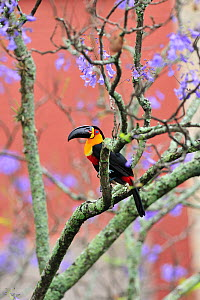 Channel-billed / Ariel toucan (Ramphastos vittelinus ariel) perched in flowering tree in city street, Rio de Janeiro city, Southeastern Brazil.  -  Luiz Claudio Marigo
