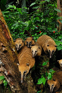 Family of Southern coatis (Nasua nasua) in Atlantic Rainforest, Tijuca National Park, Rio de Janeiro City, Southeastern Brazil.  -  Luiz Claudio Marigo