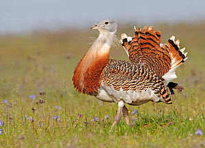 Great Bustard (Otis tarda) Spain April - Markus Varesvuo