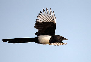 Magpie (Pica pica) in flight, Sweden October - Markus Varesvuo