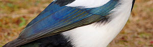 Magpie (Pica pica) close up of feathers, Sweden October  -  Markus Varesvuo