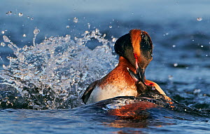 Horned / Slavonian grebe (Podiceps auritus) two individuals fighting in water, Finland May  -  Markus Varesvuo