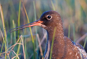 Spotted Redshank (Tringa erythropus) close up of face, Utsjoki Finland June - Markus Varesvuo