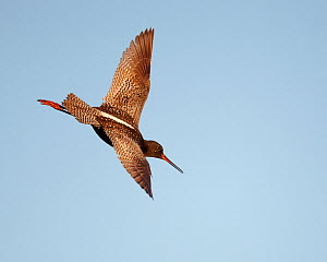 Spotted Redshank (Tringa erythropus) in flight, Utsjoki Finland June - Markus Varesvuo