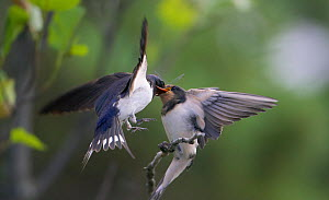 Barn swallow feeding chick on the wing (Hirundo rustica) Sipoo Finland July - Markus Varesvuo