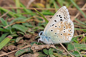Male Chalkhill blue butterfly (Polyommatus coridon), a Near Threatened species in the UK, extracting salts from animal dung, chalk grassland meadow, Wiltshire, UK, July - Nick Upton