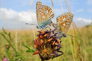 Common blue butterflies (Polyommatus icarus) mating on old Red clover flowerhead (Trifolium pratense), chalk grassland meadow, Wiltshire, UK, August. - Nick Upton