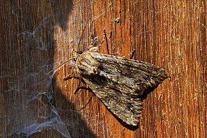 Dark arches moth (Apamea monoglypha) resting in stored wood pile, Wiltshire garden, UK, July. - Nick Upton