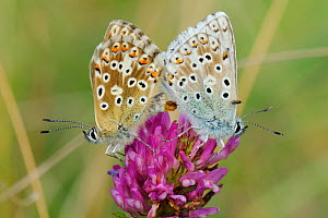 Chalkhill blue butterflies (Polyommatus coridon), mating on Red clover flower (Trifolium pratense) with phoretic Chalcidoid wasp (Eulophidae; Tetrastichinae) a parasitoid of butterfly eggs, riding on... - Nick Upton