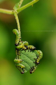 Group of Large rose sawfly larvae (Arge pagana) feeding on young Rose leaves (Rosa sp.), Wiltshire garden, UK, August. . Property released.  -  Nick Upton
