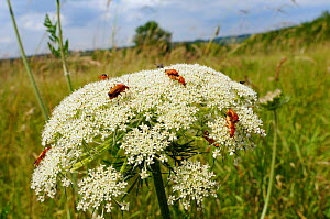 Common red soldier beetles / Black-tipped soldier beetles (Rhagonycha fulva) feeding and mating on Wild Carrot / Queen Anne's lace flowerhead (Daucus carota), chalk grassland meadow, Wiltshire, UK, Ju...  -  Nick Upton