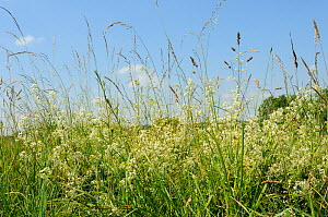 Dense stand of Hedge Bedstraw (Galium mollugo) flowering in chalk grassland meadow among tall grasses. Wiltshire, UK, July.  -  Nick Upton