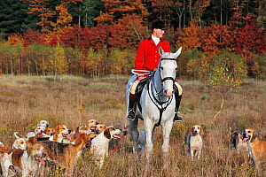 Hunter on horseback with pack of hounds during drag hunting in autumn, an alternative to fox hunting, Europe October 2011  -  Philippe Clement