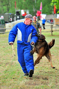 Military attack dog, Belgian Shepherd Dog / Malinois (Canis familiaris) biting man in protective clothing during training session of the Belgian army, Belgium  -  Philippe Clement