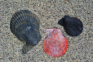 Variegated scallop (Chlamys / Mimachlamys varia) shells on beach, Brittany, France  -  Philippe Clement