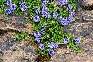 Tiny creeper (Globularia repens) in flower on rock Pyrenees, France, June 2011.  -  Inaki Relanzon