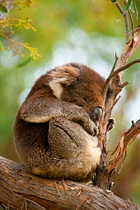 Koala (Phascolarctos cinereus) curled up sleeping in tree, Great Otway National Park, Victoria State, Australia. - Inaki Relanzon