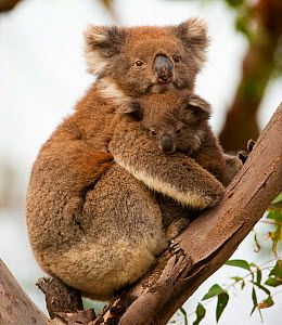 Koala (Phascolarctos cinereus) with young in tree, Great Otway National Park, Victoria State, Australia.  -  Inaki Relanzon