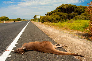 Red Kangaroo (Macropus rufus) lying dead on the road after being killed by a car, South Australia State, September 2011.  -  Inaki Relanzon