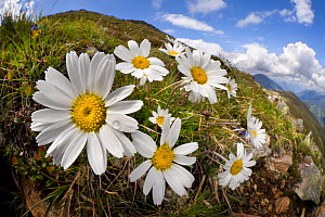 Alpine moon daisy (Leucanthemopsis alpina) on mountainside, fisheye lens. Nordtirol, Austrian Alps, Austria, June.  -  Alex Hyde