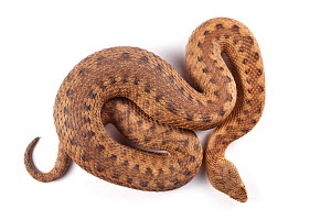 Asp viper (Vipera aspis) female, photographed on a white background, Midi-Pyrenees, France, August.  -  Alex Hyde
