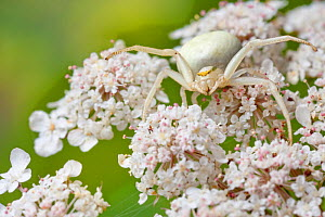 White form of goldenrod crab spider (Misumenia vatia) camouflaged on umbellifer flowers waiting for prey, Midi-Pyrenees, France, August. - Alex Hyde