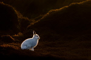 Mountain Hare (Lepus timidus) on moorland with white winter coat, Kinder Scout, Peak District National Park, Derbyshire, UK, February.  -  Alex Hyde