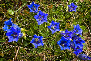 Trumpet / Stemless gentian (Gentiana acaulis) in flower on mountainside, Nordtirol, Austrian Alps, 2300 metres, June.  -  Alex Hyde
