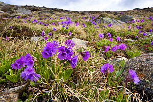 Viscid primrose (Primula latitolia) on mountainside, Nordtirol, Austrian Alps, 2600 metres, June.  -  Alex Hyde