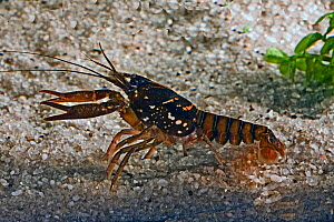 Black Creek crayfish (Procambarus pictus) found in a few small streams in Clay, Putnam and Duval Counties, Florida, USA, Sprcies of Special Concern, March  -  Barry Mansell