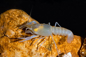 Coastal lowland Cave crayfish (Procambarus leitheuseri) Crystal Springs Beach, Florida, USA  -  Barry Mansell