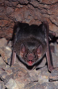 Common vampire bat (Desmodus rotundus) at roost, Sonora, Mexico - Barry Mansell