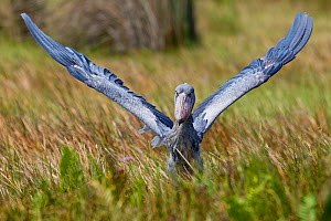 Whale headed / Shoebill stork (Balaeniceps rex) with wings raised in the swamps of Mabamba, Lake Victoria, Uganda   / Bec en sabot, Lac Victoria, Ouganda - Christophe Courteau