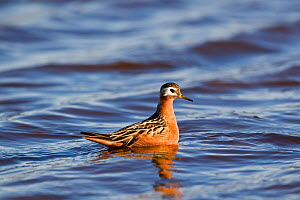 Grey phalarope (Phalaropus fulicarius) on water, Spitsbergen, Svalbard, Norway.  -  Christophe Courteau