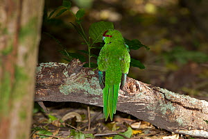 Red-crowned Parakeet (Cyanoramphus novaezelandiae) perched on a log on forest floor. Tiritiri Matangi Island, Auckland, New Zealand, September. - Brent Stephenson